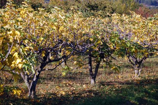 OO - fig trees